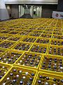 Crates of empty Club Mate bottles at 31c3.jpg