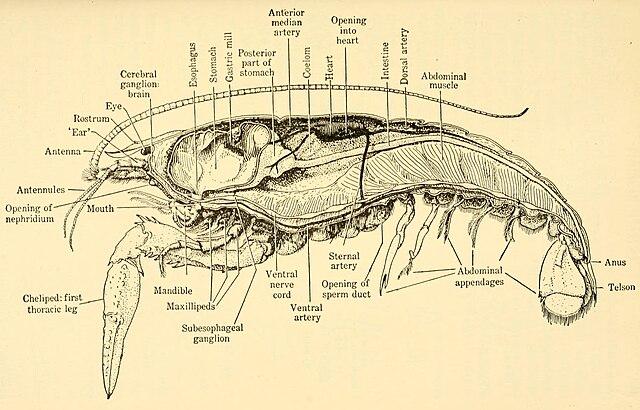 Dissektion av en kräfta.