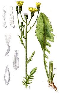 Crepis biennis Sturm54