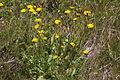 Crepis conyzifolia (Großkorb-Pippau) IMG 8292.JPG