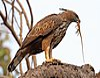Crested hawk-eagle (Nisaetus cirrhatus cirrhatus) with Indian garden lizard.jpg