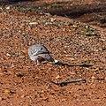 Crested pigeon Hamilton St Boulia Queensland P1040072.jpg