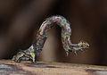Crocallis elinguaria larva3.jpg