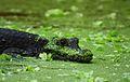 Crocodile nain du bassin d'Afrique de l'Ouest.jpeg