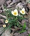 Crocus chrysanthus 'Cream Beauty'.JPG