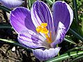 Crocus sativus a2.jpg