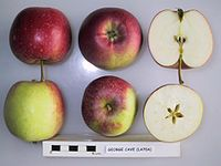 Cross section of George Cave (LA 70A), National Fruit Collection (acc. 1979-160).jpg