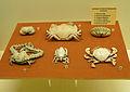 Crustacés décapodes-Musée zoologique de Strasbourg.jpg