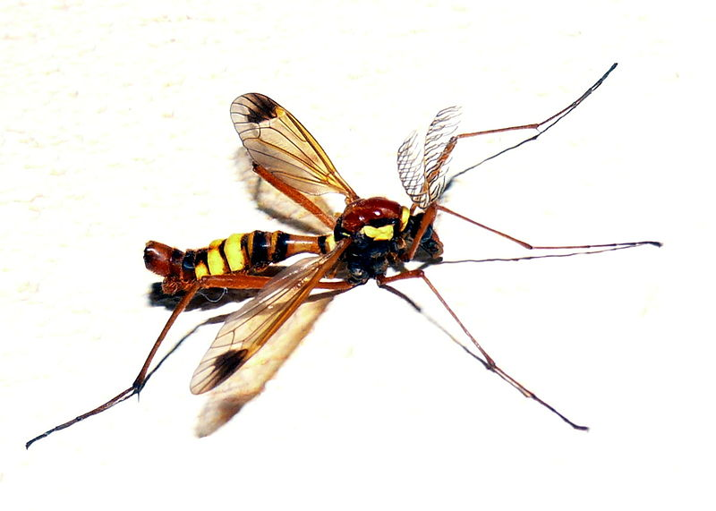 File:Ctenophora sp. male2.JPG