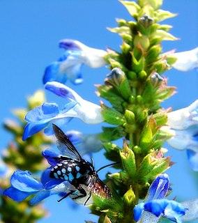 <i>Thyreus caeruleopunctatus</i> species of insect