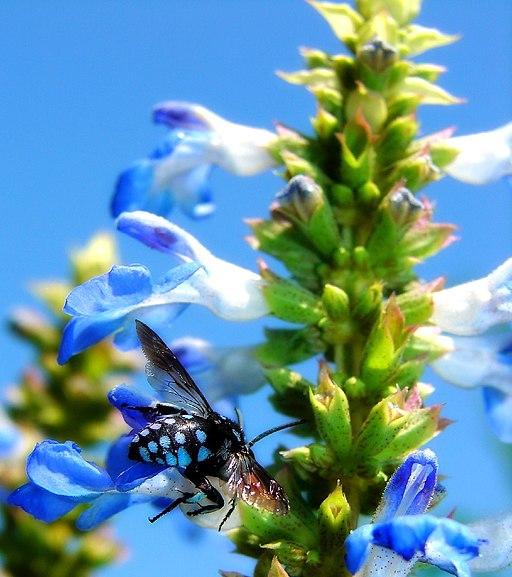 Cuckoo bee on bog sage blue