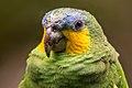 Curica (Amazona amazonica) - Orange-winged Parrot.jpg