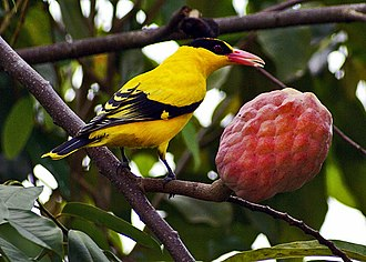 Black-naped oriole - Male O. c. maculatus (Selangor, Malaysia)
