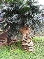 Cycas circinalis-1-forest office-mundanthurai-tirunelveli-India.jpg