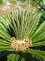 Cycas revoluta1328B.JPG