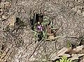 Cyclamen coum - Eastern sowbread 03.jpg
