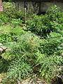 Cynara cardunculus flavescens (14355589361).jpg
