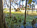 Cypress Knees - panoramio.jpg