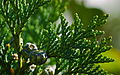Cypress with Cones (2804663968).jpg
