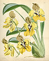 Cyrtochilum macranthum (as Oncidium macranthum) - Curtis' 94 (Ser. 3 no. 24) pl. 5743 (1868).jpg
