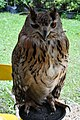 D85 1778 Siberian Eagle Owl Photographed by Trisorn Triboon.jpg