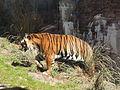DAK Panthera tigris 01.JPG