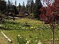 Daffodil Hill, Volcano, California - panoramio.jpg