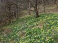 Daffodils in Kinnoull Woods - geograph.org.uk - 375487.jpg