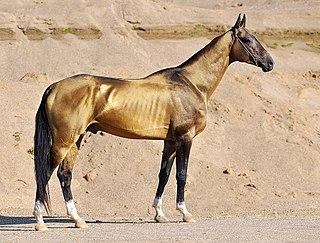 Akhal-Teke Turkmen horse breed