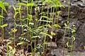 Dalea urceolata - Flickr - aspidoscelis (2).jpg