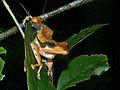 Dark-eared Treefrog (Polypedates macrotis) (6749870445).jpg