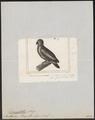 Dasyptilus pecquetii - 1838 - Print - Iconographia Zoologica - Special Collections University of Amsterdam - UBA01 IZ18600047.tif