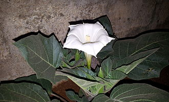 Datura - Image: Datura Flower on the plant (Lateral View) near Hyderabad, Andhra Pradesh, India 01
