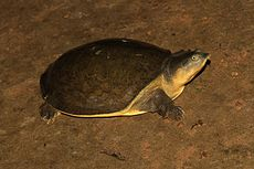 Davidraju Indian Flapshell Turtle.jpg