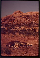 Dead Livestock Dropped near Moab City Dump. Carcasses Are Not Allowed in the Dump, 05-1972 (3814169365).jpg