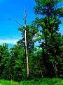 Dead Tree - panoramio (6).jpg