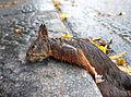 Dead squirrel Jyväskylä.jpg
