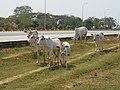 Dekkhina Thiri Township, Myanmar (Burma) - panoramio (17).jpg