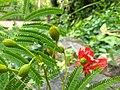 Delonix regia- Flame tree, Peacock Flower, Anasippoomaram, Poomaram 7.jpg