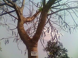 University of Ghana - Image: Delonix regia at UGASS