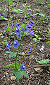 Delphinium bakeri 1.jpg