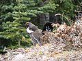 Dendragapus obscurus -Columbia Icefield, Canadian Rockies, Alberta, Canada -male-8 (1).jpg