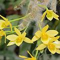 Dendrobium senile-IMG 2131.jpg