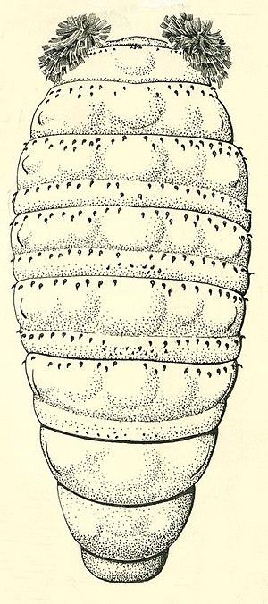 Bristol board - Dermatobia hominis larva dorsal view - The original was done in pen and ink on Bristol board.