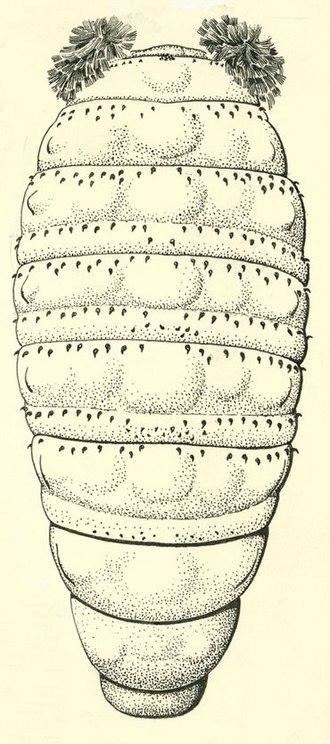 Bristol board - Dermatobia hominis larva dorsal view. The original was done in pen and ink on Bristol board.
