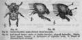 Descent of Man - Burt 1874 - Fig 21.png