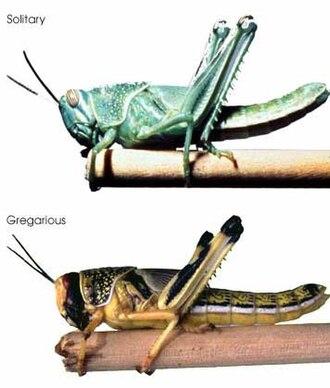 Desert locust - Solitary (top) and gregarious (bottom) desert locust nymphs