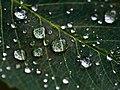 Dew on a dark green leaf (Unsplash).jpg