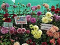 Dhalia from Lalbagh flower show Aug 2013 7926.JPG