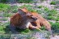 Dhole (Wild Dog), Howletts Wild Animal Park, Bekesbourne, Kent (28579925971).jpg